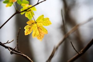 Autumn leaf and branches