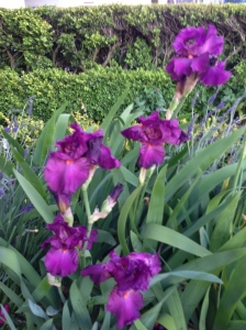 Purple Iris - Ken & JD House